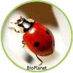 Kaksipistepirkko Kirvojen biologinen torjunta Biotus Oy